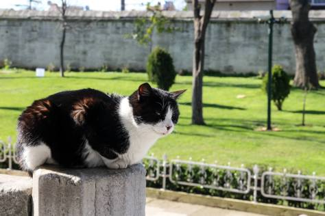 Blue Mosque cat